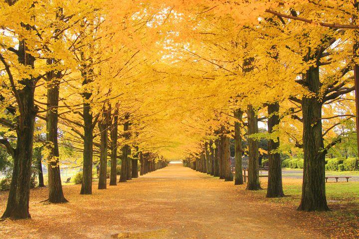 【開催中】イチョウ並木に吸い込まれて。国営昭和記念公園で「黄葉紅葉まつり&秋の夜散歩」開催