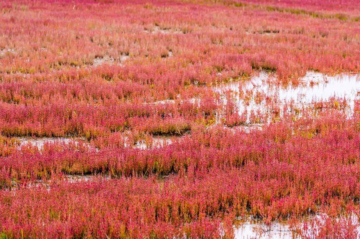 原生植物の宝庫!北海道「キムアネップ岬」サンゴ草がつくる真っ赤な絨毯