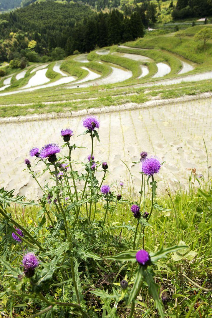 東京から1番近い棚田「大山千枚田」情緒溢れる日本の風景