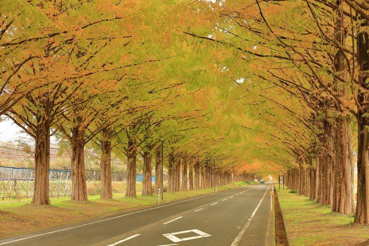 """秋の絶景ドライブはここに決まり!滋賀県の""""メタセコイア並木""""が美しすぎると話題"""