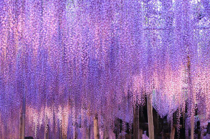 """この季節限定の""""紫のカーテン""""!春にしか見られない「藤の名所」13選"""
