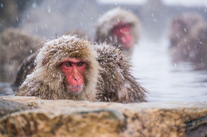 申年だからこそ行きたい!「地獄谷野猿公苑」で温泉に入る猿が可愛すぎる