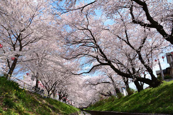 【2017年】桜を見に栃木へ!栃木のおすすめお花見スポット5選