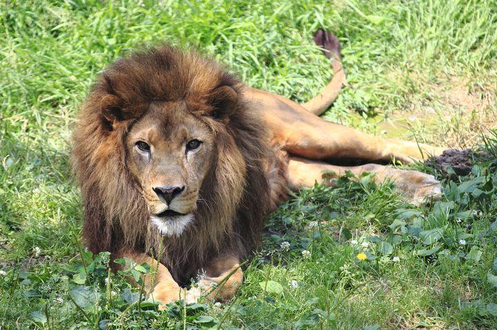 50年の歴史に幕を閉じる?多摩動物園の「ライオンバス」に乗れるのは当面3月まで