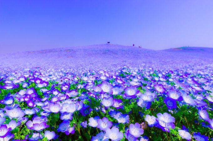 一面に広がるフラワーカーペット!死ぬまでに見たい日本国内の「花畑」8選