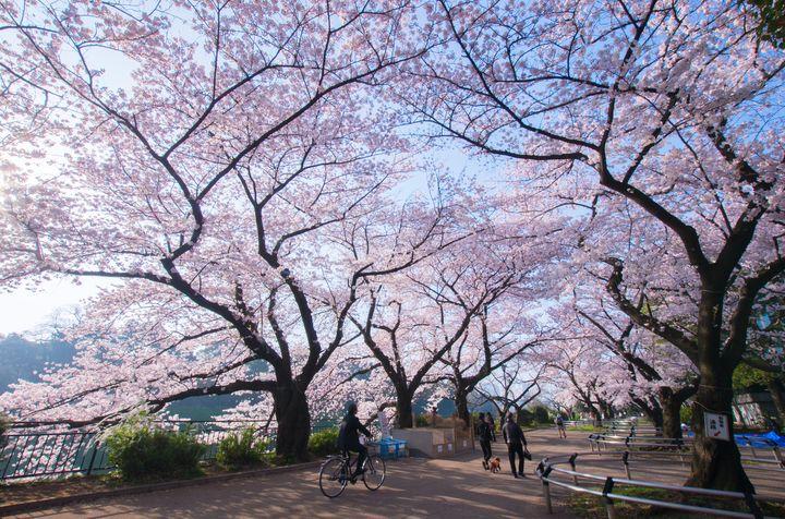 東京のお花見デートならここ!千鳥ヶ淵でロマンチックなデートをしてみない?