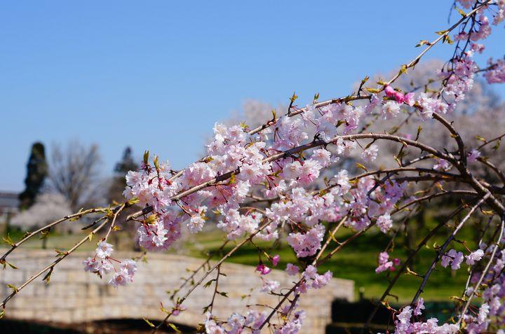 歴史感じる美しさ!富山の桜舞い散る「お花見スポット」7選