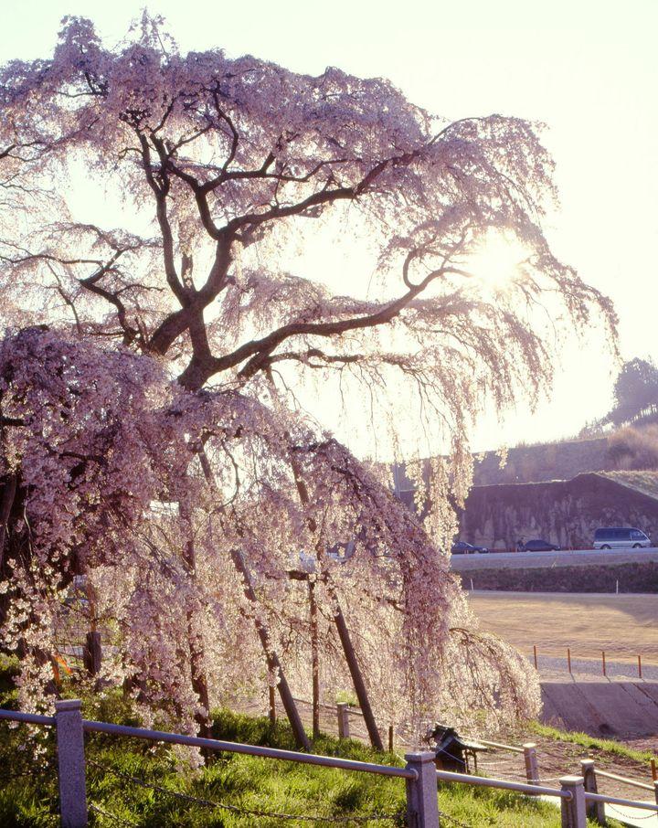 春の名物と言ったらこれ!「日本三大巨桜」は死ぬまでに見ておきたい