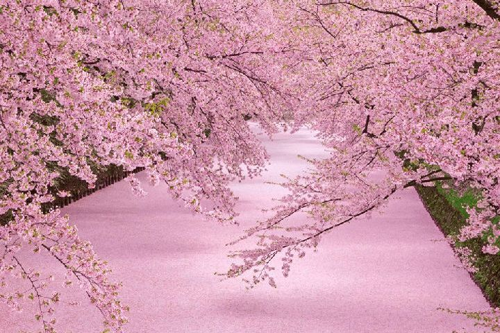 """死ぬまでに絶対見たい!美しすぎる47都道府県""""桜の名所""""総まとめ"""
