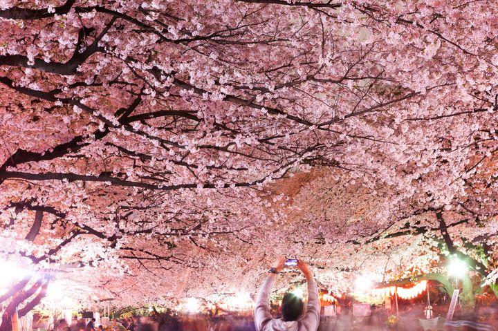 【永久保存版】東京都内の人気「夜桜」スポット10選
