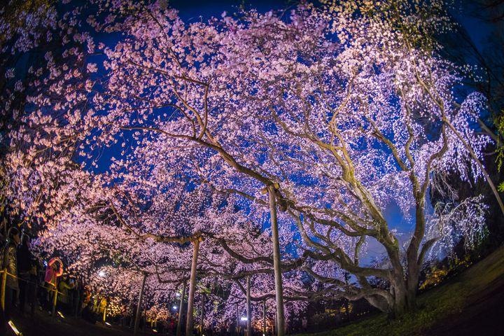 夜にわざわざ出かけたくなる。東京都内の「大人な夜桜スポット」10選