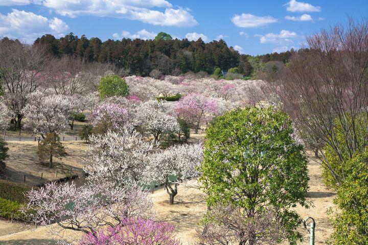 春の訪れを感じに。偕楽園・弘道館にて「水戸の梅まつり」開催