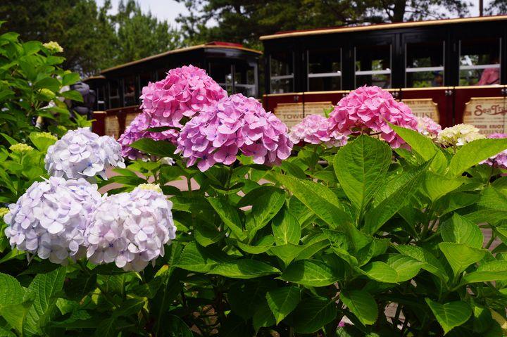 【終了】神奈川最大級の2万株が咲き誇る!今年も「八景島あじさい祭」開催