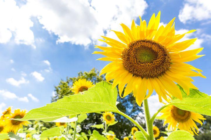 """日本一のひまわり畑!都心から日帰りで行ける夏の絶景""""明野のひまわり畑""""とは"""