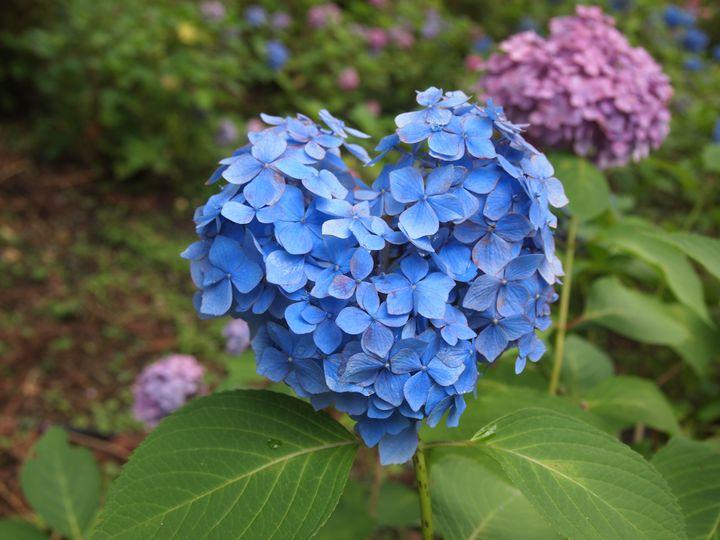 見つけたら恋愛成就?京都・三室戸寺の''ハート型のあじさい''が素敵すぎる