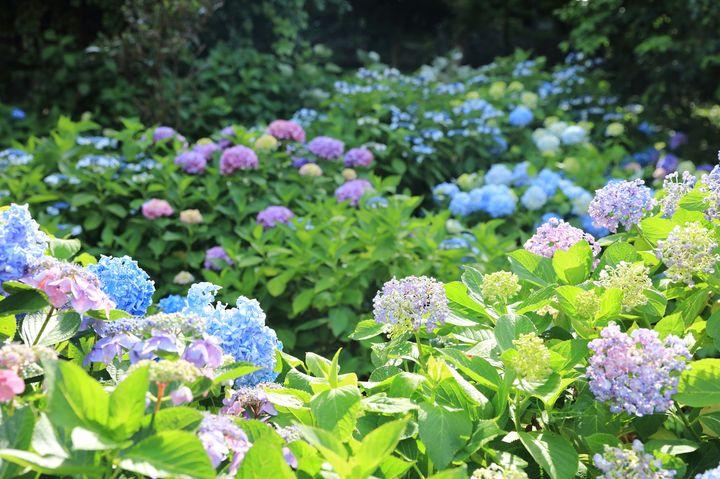 梅雨のおでかけに最適!美しい紫陽花が見られる東京近郊のスポット5選