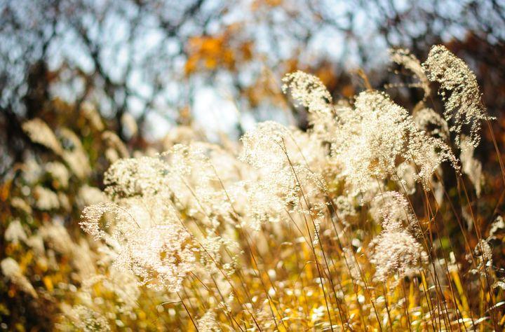 柔らかな秋の光の中ですすきも輝いて見えます。