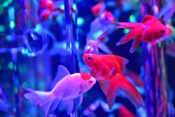 泳ぎ回るあの子がお菓子に!「絶品金魚スイーツ」が買える全国のお店6選