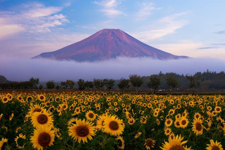 """富士山を""""タダ""""で楽しむ!山のふもとの「山中湖花の都公園」が美しすぎる"""