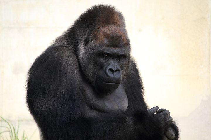イケメンゴリラ「シャバーニ」が人気沸騰中!名古屋の東山動物園がおもしろい