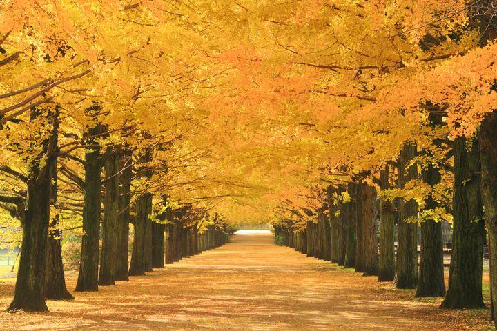 黄色の並木に心奪われる。京都、堀川通のイチョウ並木が美しすぎる