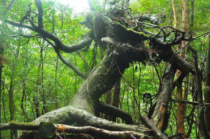 """自然のパワースポット!特別天然記念物に登録された日本全国の""""巨木""""5選"""