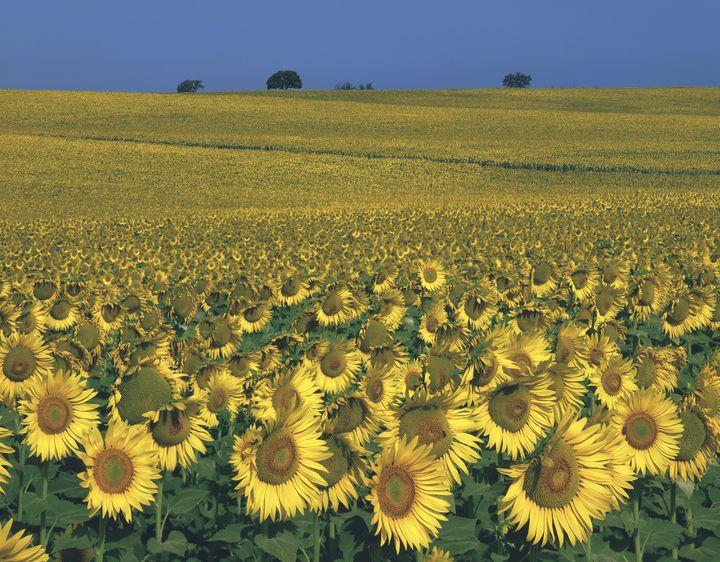 【6月が見頃のピーク!!!】一生に一度は見たい、アンダルシアのひまわり畑