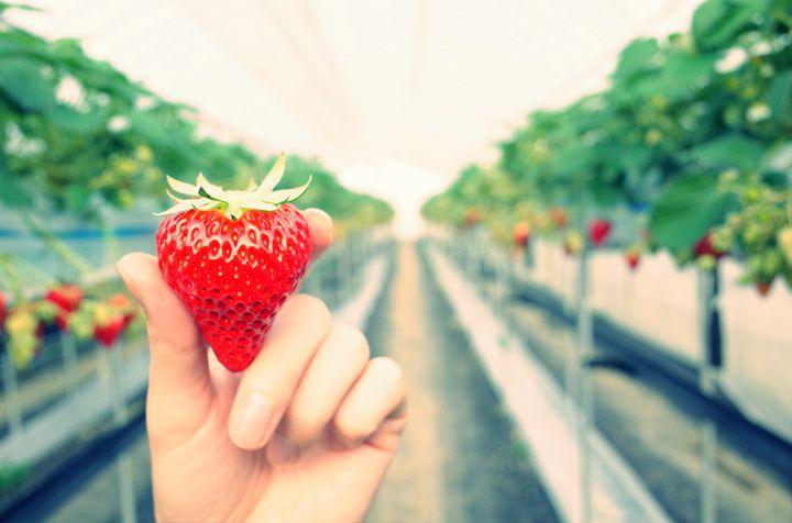 """甘くて美味しい、魅惑のフルーツ!関東の""""いちご狩り""""スポット10選"""