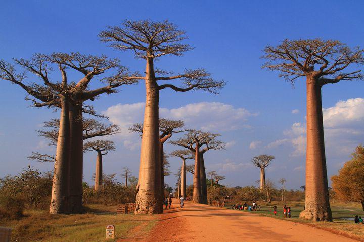 星の王子様の世界がここに!マダガスカルの巨木が立ち並ぶ「バオバブの並木道」
