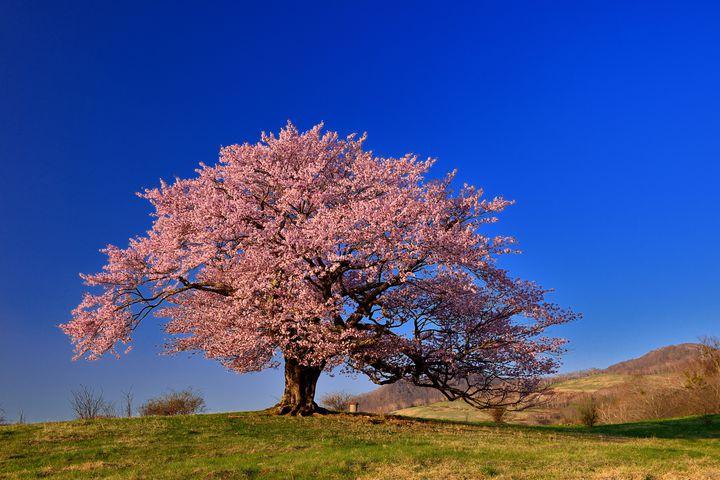 """春の訪れは、すぐそこに。美しすぎる日本全国の""""一本桜""""12選"""