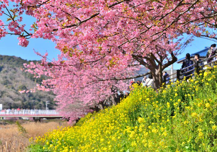 見頃はまさに今!日本一早いお花見「河津桜まつり」が美しすぎると話題