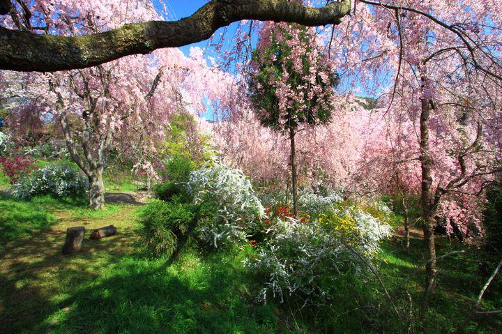 そこはまるで秘密の花園。京都で密かに人気な桜の名所「原谷苑」とは