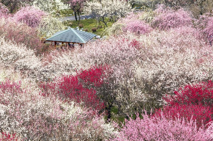 色とりどりの梅が美しい!三重県「いなべ梅まつり」で一足先に春を感じよう
