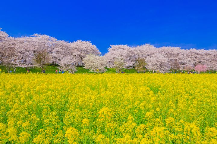 """黄色に輝く眩しい絶景がここに。関東地方にある""""菜の花畑""""10選"""