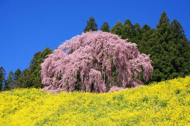 """はんなりピンクの姿が見たい!日本全国の美しい""""しだれ桜""""10選"""