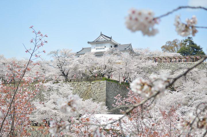 【開催中】桜に染まる天守閣に感動する。「2020 津山さくらまつり」岡山・津山城にて開催