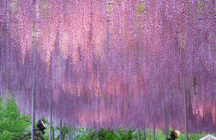 世界にも認められた絶景!この春『あしかがフラワーパーク』の藤の花が見たい