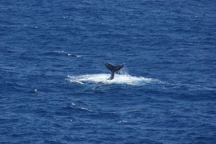 なんと1年中楽しめる!ハワイ島ダン船長のホエール ウォッチングで自然に癒されよう!