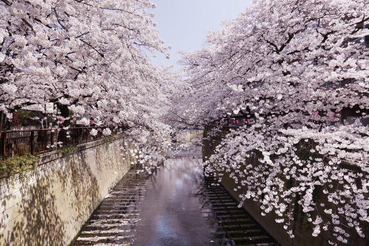 """お花見デートはこれで決まり!""""目黒川沿い""""を歩く1日デートプランはこれだ"""