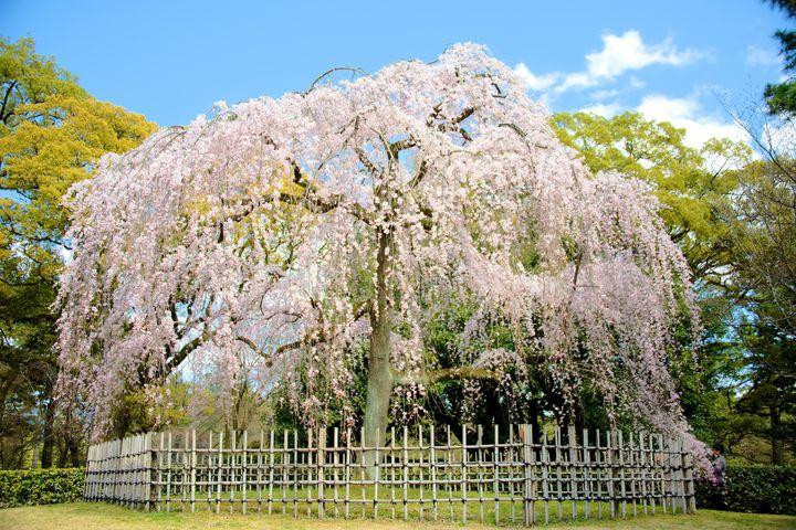 歴代天皇も魅了された京都の桜。春に彩られた「京都御所」が見逃せない