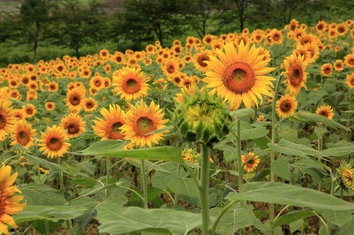 写真フォルダを黄色一色に染めちゃって!8月でも見られる関東近郊のひまわり畑6選