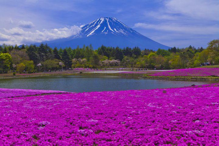 【終了】芝桜×富士山の絶景コラボ!「富士芝桜まつり2018」開催中