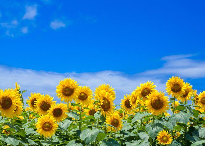 """一面の黄色い絨毯!この夏行きたい、九州地方のおすすめ""""ひまわり畑""""7選"""