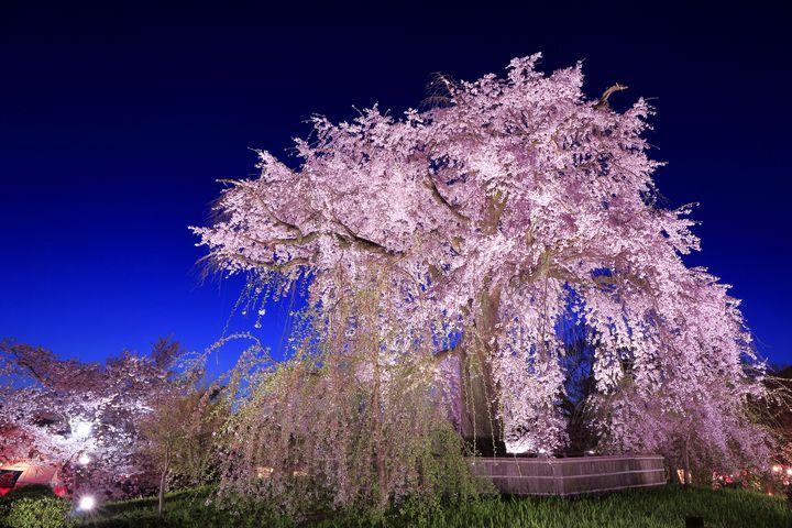"""京都でしか見られない""""夜桜""""が見たい!京都でオススメの夜桜スポット7選"""