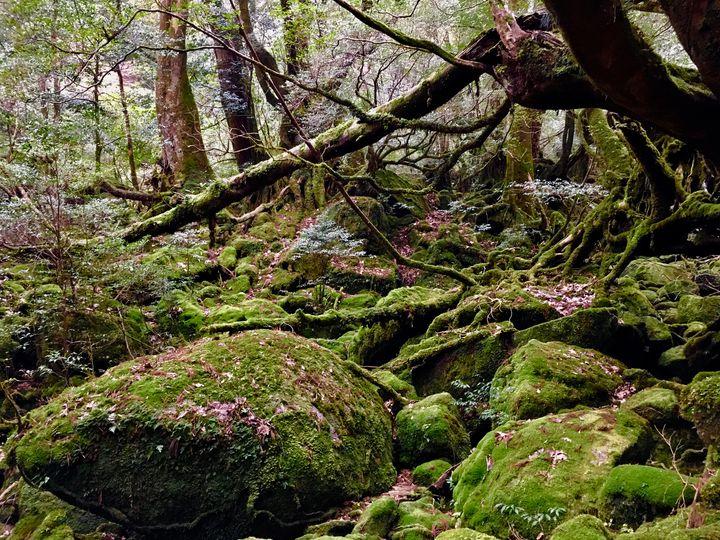 あなたを「もののけ姫」の世界へといざなう。神秘の森「屋久島」