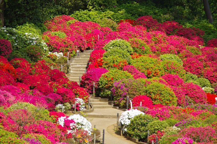 """人気のパワースポット!春のおでかけはツツジ名所""""根津神社""""へいこう"""