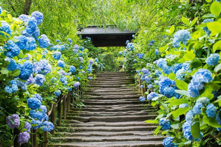 """明月院ブルーの紫陽花が美しい!鎌倉の""""明月院""""ってどんなところ?"""