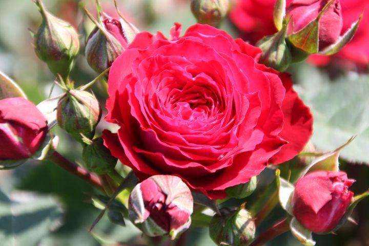【終了】5月のおでかけで行きたい!神代植物公園で「春のバラフェスタ」開催