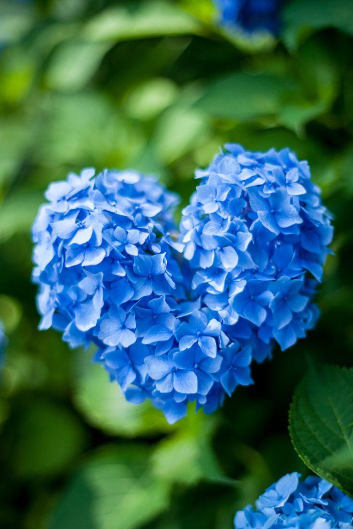 【終了】今年の夏は恋愛成就!京都・三室戸寺の″ハートのあじさい″に願いを込めよう
