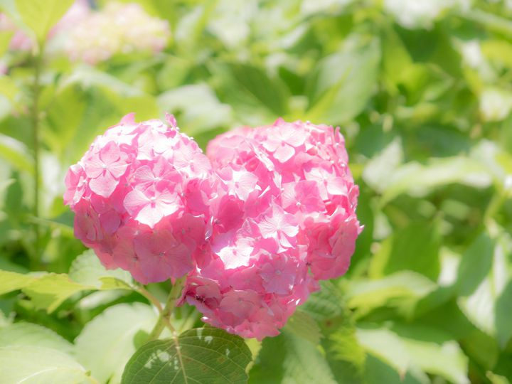【終了】恋が叶うハート型を探しに!京都、三室戸寺の「あじさい園」に行きたい